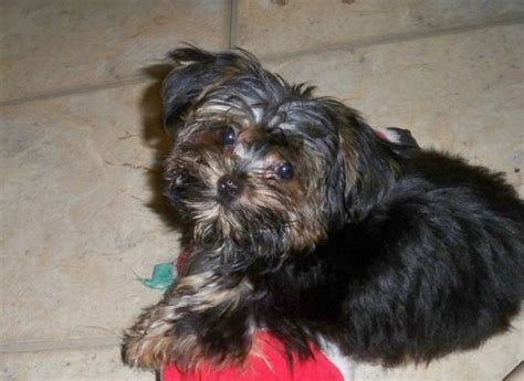 do shorkie poos shed yorkie poo haircut apexwallpapers