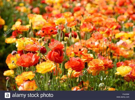 Ranunculus Blumen Gelb, Orange Und Rot In Blumenfeld