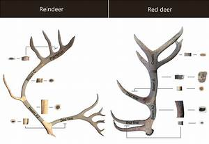 Anatomical Location Of The Antler Samples  Modern Corpus