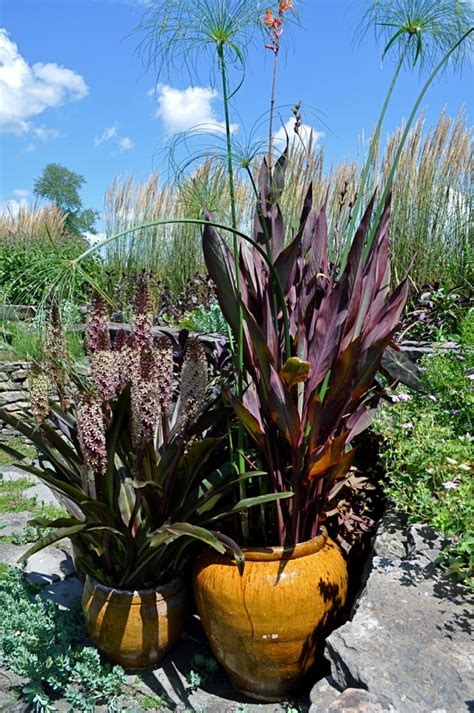planting cannas in pots images