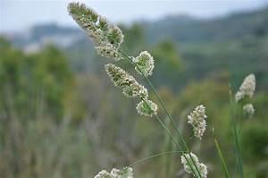 dactyle agglomere planter et entretenir ooreka With modeles de rocailles jardin 2 crassula planter et entretenir ooreka