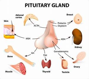 Pituitary Gland Hormones And Functions