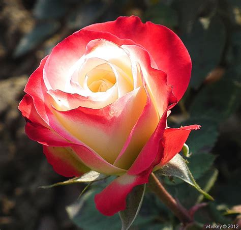 The Awesome Nature And Its Beauty  White Shaded Red Rose