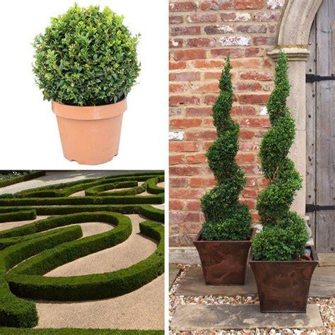 planter un buis en pot vente buis buxus mesarbustes