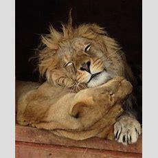 25+ Best Ideas About Lion And Lioness On Pinterest Lion