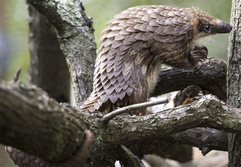 pa zoo  forefront  saving endangered pangolins news poconorecordcom stroudsburg pa