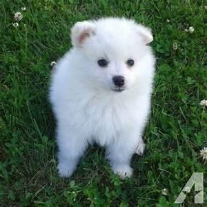 American Eskimo Puppies (toy size) for Sale in Allenton ...