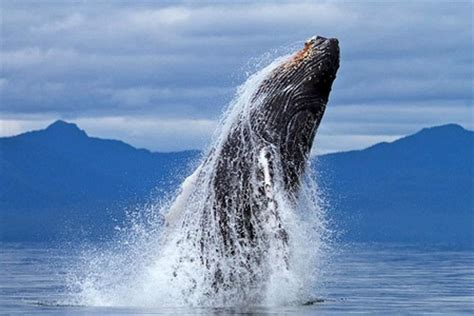 whale jump whales animals background wallpapers