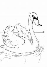 Coloring Swan Poultry Animals Swans sketch template