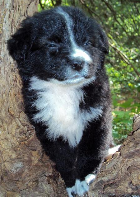 australian shepherds    fluffy daily puppy