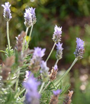 Gewürz Lavendel Pflege by Lavendel Im Garten Dr Schweikart