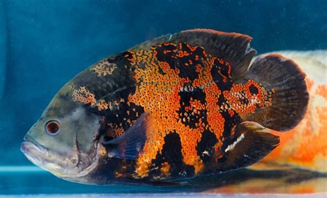 beautiful types  oscar fish fishkeeping world