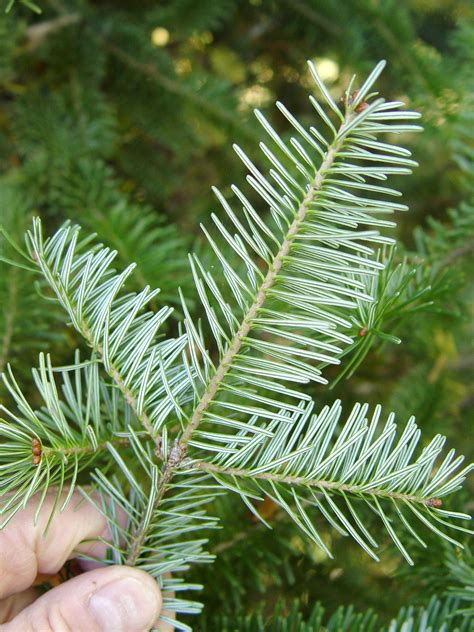 fir needle wallpapers high quality