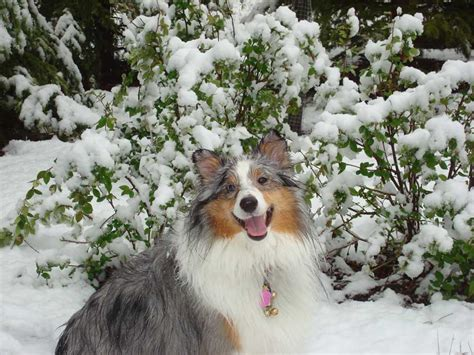 sheltie shedding in winter sheltie nation archive snow shelties