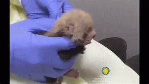 Video: Red baby panda cubs astonishingly adorable - Boing ...