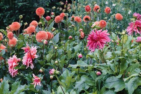 dahlia my garden fierceblooms dahlias decision for 2018 garden style