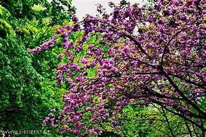Rosa Blüten Baum : japanische kirsche zur kirschbl te mit den fantastischen rosa bl ten kostenlose bilder b ume ~ Yasmunasinghe.com Haus und Dekorationen