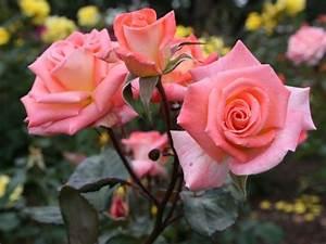 Fuchsien Stecklinge Kaufen : rosen kaufen ~ Michelbontemps.com Haus und Dekorationen
