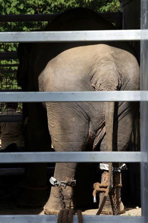 คาวัน ช้างสุดอ้างว้างจากปากีฯ มาอยู่บ้านใหม่ที่กัมพูชา ...