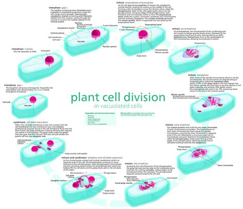 Fileplant Cell Cyclesvg  Wikimedia Commons