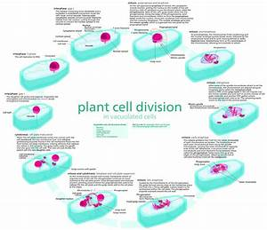 File Plant Cell Cycle Svg