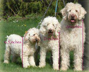 American To Australian Bra Size Chart About Labradoodles Aussiedoodle And Labradoodle Puppies
