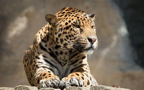 jaguar  wallpapers top  jaguar  backgrounds