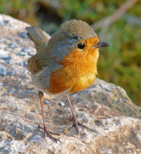 robin fledgling birds of a feather pinterest