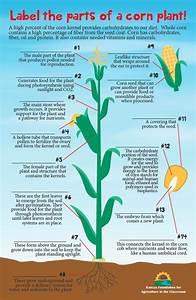 Corn Plant Part Labeling  U2013 Kansas Foundation For