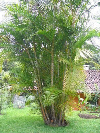 palm tree areca palm tree manufacturer  hooghly
