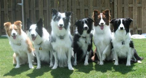 Do Collies Shed A Lot by K9 101 The Border Collie