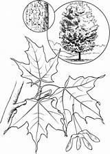 Maple Coloring Tree Leaf Sugar Pages Colorings Printable Getdrawings Getcolorings sketch template