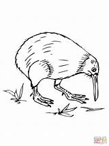 Coloring Pages Kiwi Birds Printable Australian Bird Zealand Drawing Animal Draw Sketch Template Designlooter Drawings Recommended Getdrawings Colors 37kb 1600px sketch template