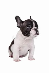 Puppy French bulldog stock photo. Image of cute, front ...