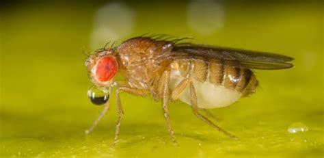 fruit fly model  deadly brain diseases  lead