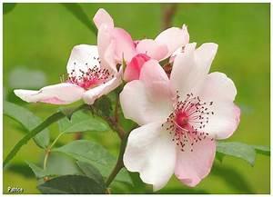 Fleur Rose Et Blanche : blog photos de patrice juillet 2013 ~ Dallasstarsshop.com Idées de Décoration