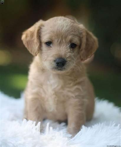 Labradoodle Mini Puppy Sadie Puppies Gfp Colorado