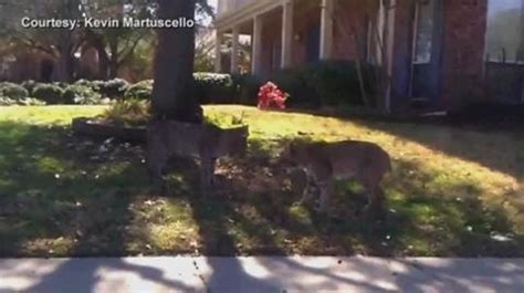 bobcat catches shark  vero beach florida