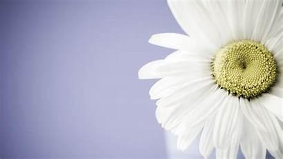 Flower Daisy Wallpapers Desktop Backgrounds Computer Widescreen