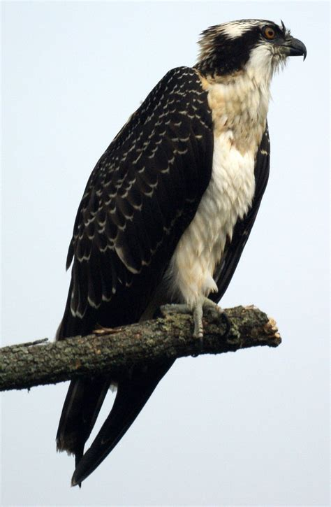 Images Of Osprey Osprey At Lake Nelson New Jersey Bird Photos