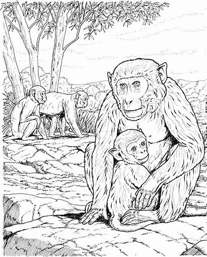 Coloring Monkey Pages Realistic Adult Adults Colouring