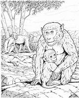 Apes Chimpanzee Colorier Manatee Malbücher Schimpansen Savages Coloringbay Mandril sketch template