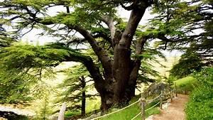 Lebanon most beautiful Cedars trees – LebanonUntravelled.com