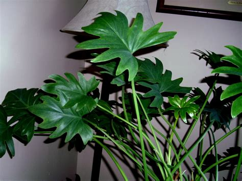 big leaf house plants pin big leaf house plants pictures on pinterest