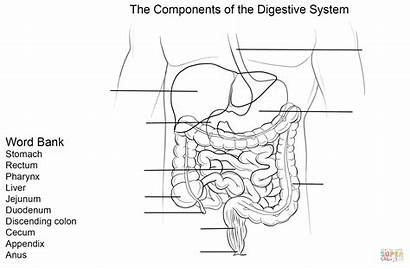 Digestive System Worksheet Coloring Printable Human Label