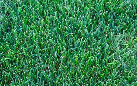sod grass types how to identify northern virginia grass types