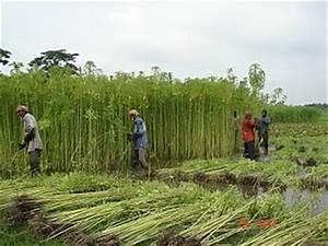 Jute harvesting goes in full swing in Manikganj