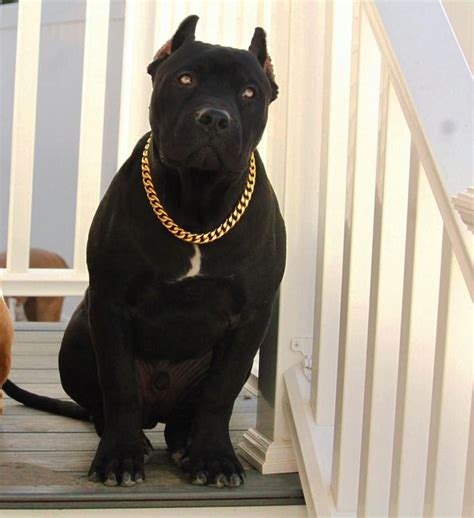 gold cuban link stainless steel luxury dog choke chain