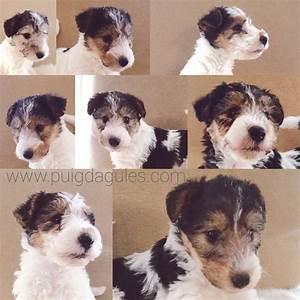 Cachorros Fox Terrier 1 mes y medio | Puig d'Agulles Fox ...