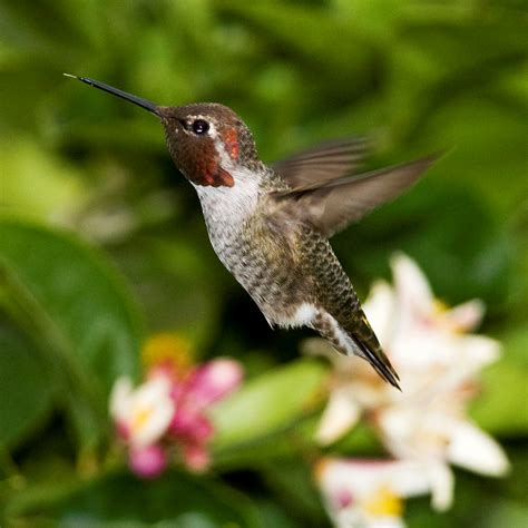 wind advisory in effect for anna s hummingbirds high